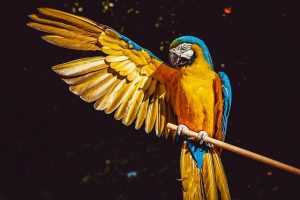 Ciri-Ciri Beo Sebagai Burung Pengicau