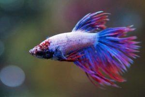 Jenis dan Bentuk Aquarium Ikan Cupang