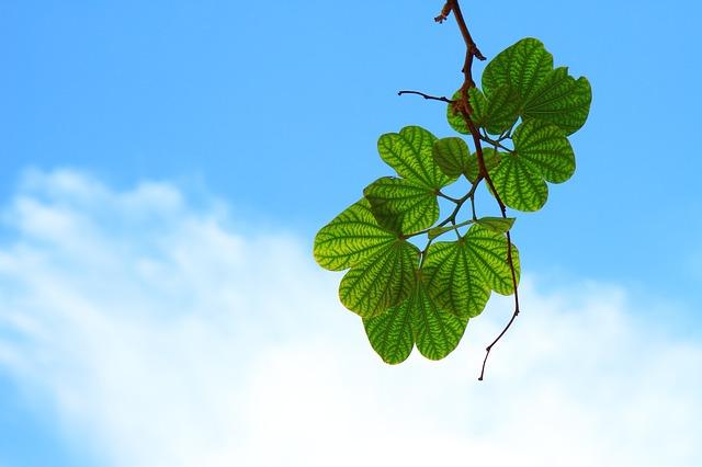 2 Manfaat Daun Jambu Biji yang Bisa Anda Gunakan Sebagai Obat Herbal