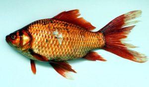 Read more about the article Bentuk Tubuh Ikan Mas dan Habitatnya