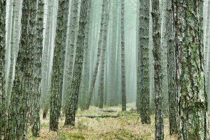 Read more about the article Manfaat Pohon Pinus Yang Jarang Diketahui