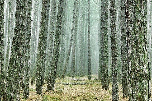 Manfaat Pohon Pinus Yang Jarang Diketahui